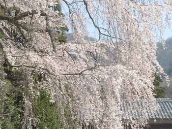 Cherry_blossoms03