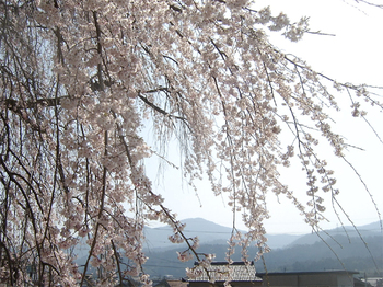 Cherry_blossoms05_2